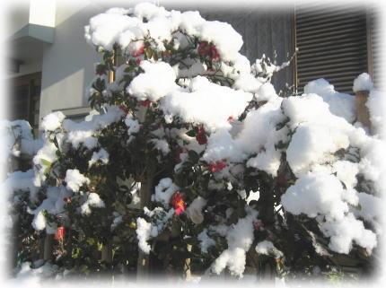サザンカ雪景色.jpg