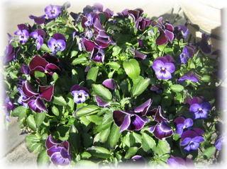 パンジー紫.jpg