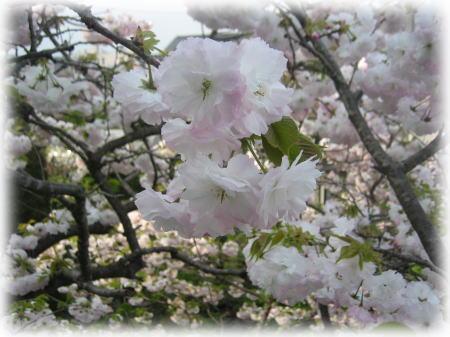 裏の八重桜.jpg